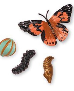 Butterfly Life Cycle Stages by Insect Lore -2